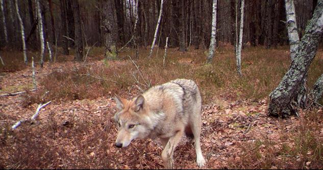 loup de Tchernobyl